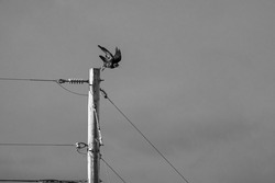 A solo crow or raven sits perched atop a telephone power pole with the sky and clouds in the background.  Black and white.