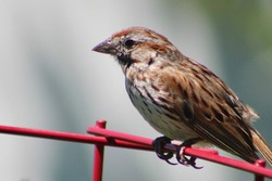 A song sparrow perched on the red metal plant supporter. The song bird's feathers are wet and out of place as the bird roosts on the trellis.