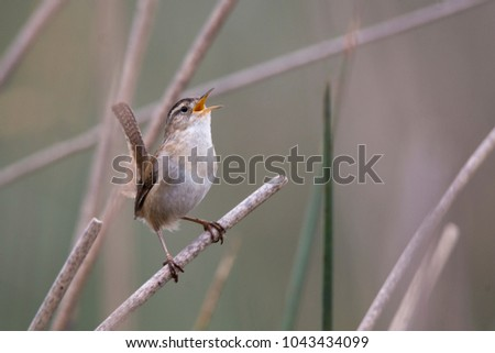 A song sparrow singing its heart out. #1043434099