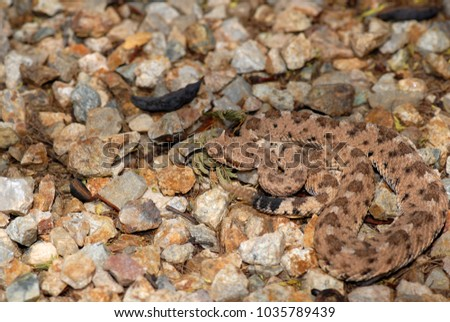 a sonoran sidewinder from the...