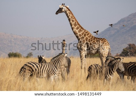 A South African Giraffe cow with her young calf in an open grassland, with red-billed oxpeckers approaching and surrounded by a herd of zebras, in Pilanesberg Nature Reserve, South Africa. #1498131449
