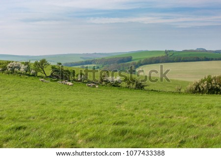 A South Downs landscape with sheep and green fields #1077433388