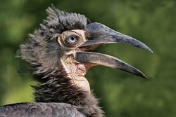 A southern hornbill, Portrait with open beak, juvenile bird, bucorvus leadbeateri