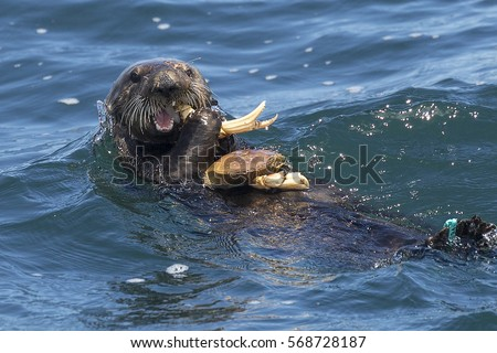 A southern sea otter eats a crab in Monterey Bay, California.
