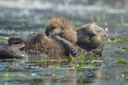 A southern sea otter mother holds her pup in Moss Landing, California.