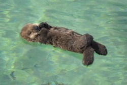 A southern sea otter pup sleeps in a shallow cove in Monterey, California.