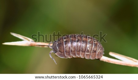 A Sow bug of the Armadillidium genus on a plant stalk. They are actually called a Wood Louse and their carapace somewhat resembles an armadillo's shell.