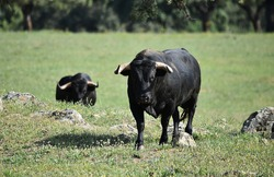 A spanish fighting bull with big horns on spanish cattle farm