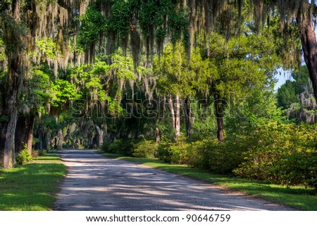 A Spanish moss draped lane in historic  Bonaventure Cemetery in Savannah, Georgia.