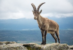 A Spanish wild mountain goat ( Iberian ibex ) on a rock on El Yelmo, in the Guadarrama Mountains. Spain.