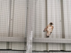 a Sparrow dead in the bird netting,under the roof