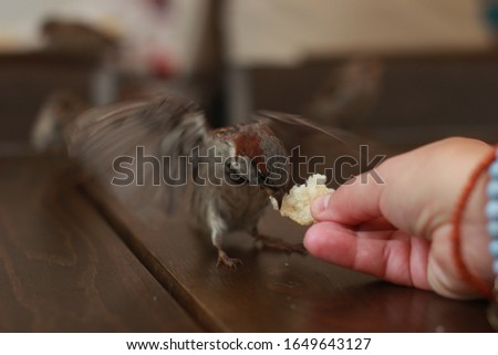 a sparrow eats bread from a human hand
