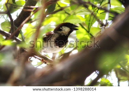 A sparrow is a member of the genus Passer. They are small passerine birds which belong to the family Passeridae. They are also known as old-world sparrows. Sparrows often make their nests near houses  #1398288014