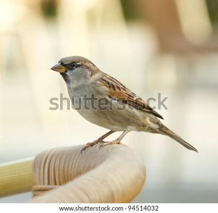 A sparrow on a chair