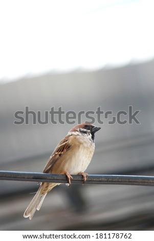 A sparrow on the line