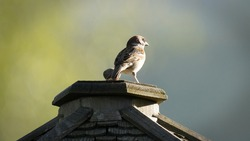 a sparrow perched on the wood roof from a bird feeder in the evening sun