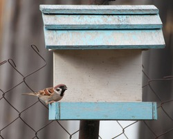 A sparrow sits on a bird feeder with a grain in its beak, selective focus, close-up.