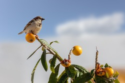 A sparrow sits on the top of a Medlar tree in Spain. Orange-colored fruits hang on the branches. The sun is shining and the sky is blue with a blurred background with nice bokeh.