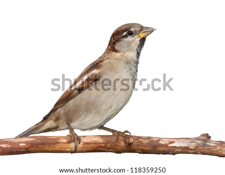 A sparrow stretches upward toward the sky while seated on a branch, white background