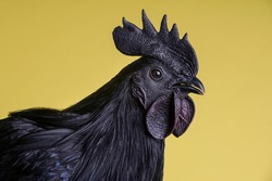 A special all-black hen species from Indonesia - Ayam Cemani chicken. The whole rooster is black, with feathers, skin, ribs, flesh, bones. Yellow background. Close-up portrait.