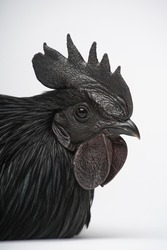 A special all-black hen species from Indonesia - Ayam Cemani. The whole rooster is black, with feathers, skin, ribs, flesh, bones. White background. Close-up portrait.