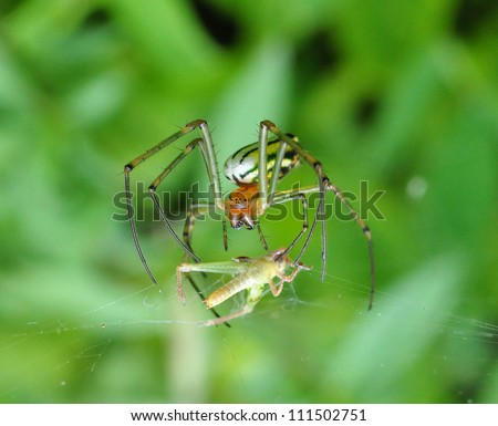 A species of an orb weaver preying on a little grasshopper