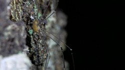 A species of arachnids from the family Phalangodidae of the order haymakers. It is found in Europe and North America.