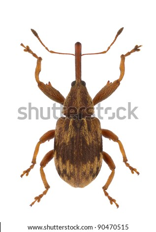 A specimen of Anthonomus rectirostris, weevil, isolated on a white background