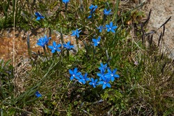 A specimen of Gentiana bavarica, photographed in the Pejo Valley (Val di Pejo), Italian Dolomites, summer 2020