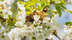 A Speckled Wood butterfly sits on white cherry blossoms