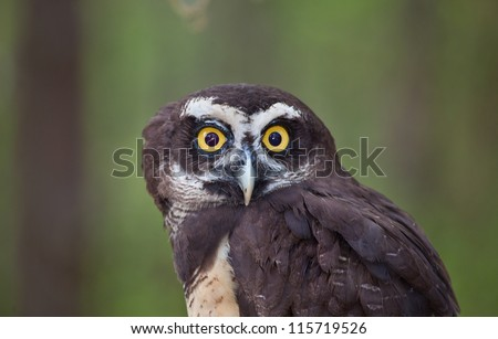 A Spectacled Owl stares into the camera with wide eyes.