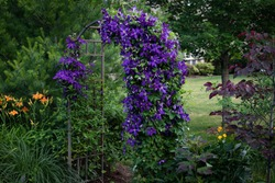 A spectacular purple clematis, jackamani, in full bloom in July is the focal point of this impressionistic garden along with the orange daylilies.