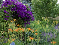 A spectacular purple clematis, jackamanii, in full bloom in July is the focal point of this impressionistic garden along with the orange daylilies.