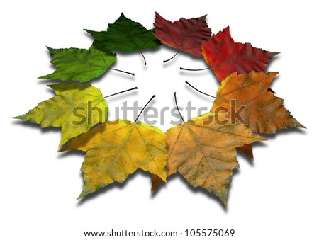 A spectrum of 8 maple leaves all in varying and progressive stages of the colors of autumn