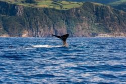 A Sperm Whale Tale near Sao Miguel Island, Azores, Portugal