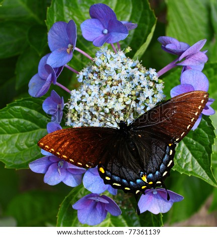 A spicebush Swallowtail Butterfly on a Blue Hydrangea flower with room for your text.