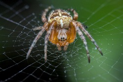 A spider (Araneus diadematus) in its web.