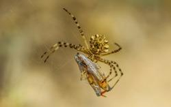 A spider catches prey spider