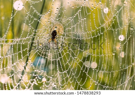 A spider crosspiece sits on a web in dew. Drops of dew on a web close-up #1478838293