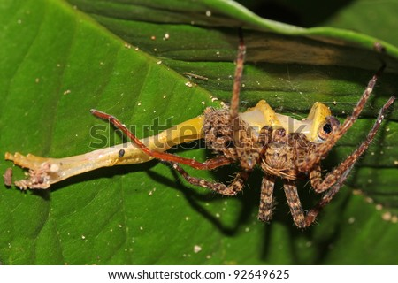 A Spider eats a Frog in the Peruvian Amazon! - stock photo