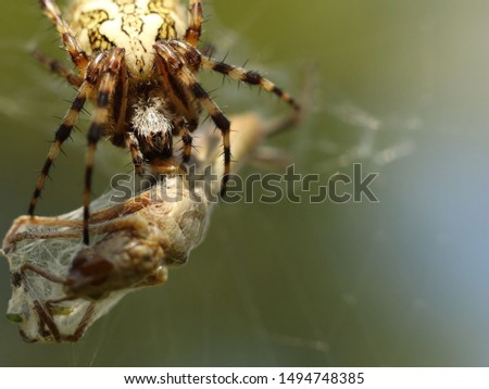 A spider eats its prey entangled in a web. Grasshopper entangled in the networks of a predatory insect. Hunt for food. Poisonous inhabitants of the fauna in macro photography. The struggle for life
