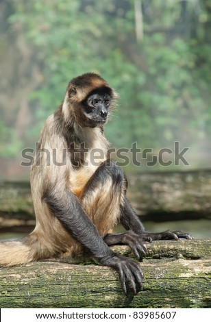 a spider monkey sitting and staring with a funny expression