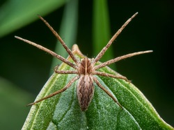 A spider that is usually on the grass. It is a hunter and does not build a net. It is known as the nursery web spider. Pisaura mirabilis