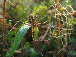 A spider web, spiderweb, spider's web, or cobweb is a structure created by a spider out of proteinaceous spider silk extruded from its spinnerets