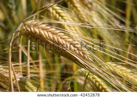 a spike of ripe wheat photographed in the summer sun on a commercially used acre
