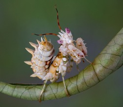A spiny flower mantis is sitting on a rolled leaf.