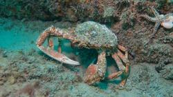 A Spiny Spider Crab underwater