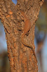 A Spiny-tailed Monitor lizard climbs a tree in Central Australia.