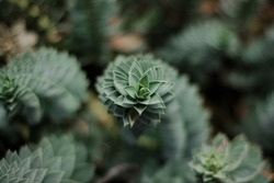 A spiral plant seen from above in a blurred green background with more spirals