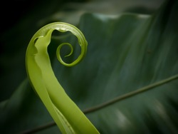 A spiralling new shoot leaf of a fern plant, growing in a swirl concentric circular curl, unrolling as it grows in a tropical jungle rainforest. Green wallpaper background. Fibonacci spiral in nature.